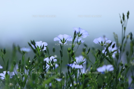 亜麻の花香るの写真素材 [FYI00251505]