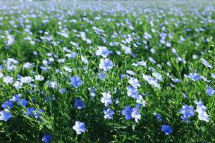 亜麻の花咲く夏の写真素材 [FYI00251509]