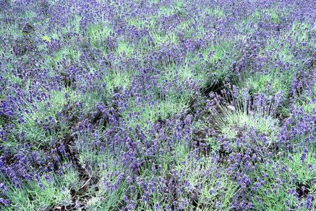 ラベンダー畑の写真素材 [FYI00251551]
