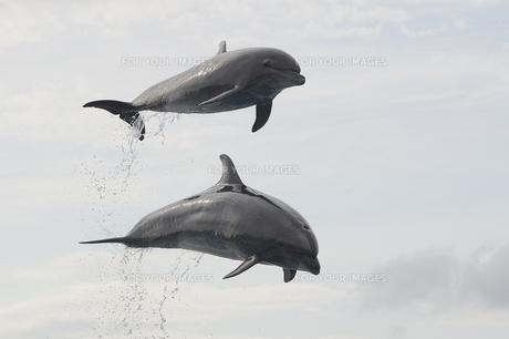 イルカのジャンプの写真素材 [FYI00251582]