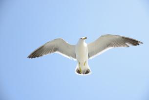 大空を飛ぶウミネコの写真素材 [FYI00251610]