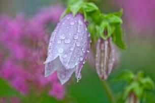 ホタルブクロに水滴の写真素材 [FYI00251811]