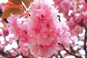 八重桜の写真素材 [FYI00252061]