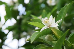 夏みかんの花の写真素材 [FYI00252065]