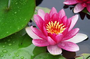 池に咲く雨の後の睡蓮の写真素材 [FYI00252069]