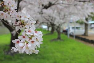 桜の写真素材 [FYI00252104]