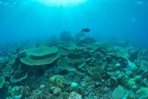 珊瑚の群生の写真素材 [FYI00252107]