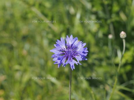 紫色のヤグルマソウの素材 [FYI00252122]
