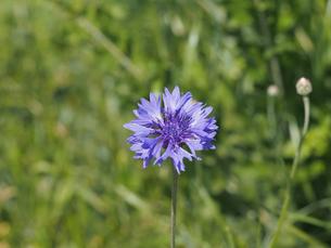 紫色のヤグルマソウの写真素材 [FYI00252122]