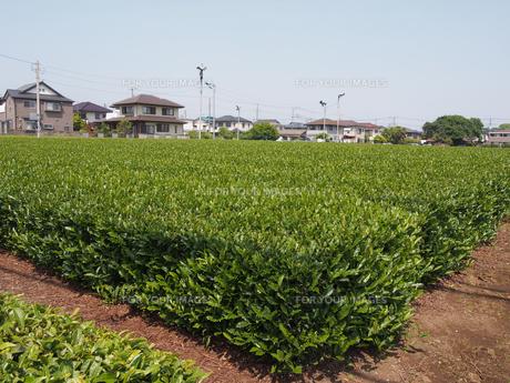 お茶畑の素材 [FYI00252127]