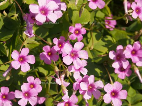 イモカタバミの花の素材 [FYI00252146]