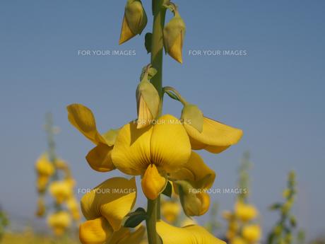 クロタラリアスペクタビリスの花(少しアップ)の素材 [FYI00252153]