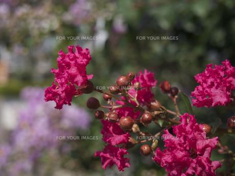 サルスベリの花(赤色)の素材 [FYI00252165]