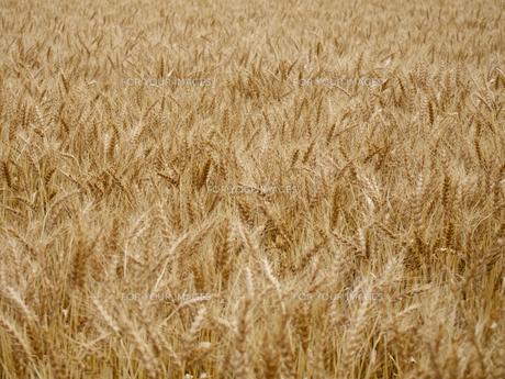 黄金色の麦畑の素材 [FYI00252183]