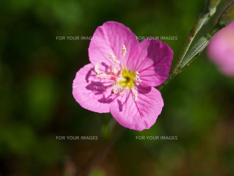 ユゲショウの花の素材 [FYI00252211]
