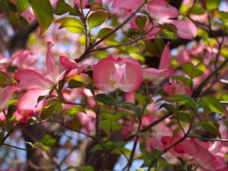 ハナミズキの花(ピンク)の素材 [FYI00252223]