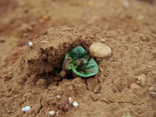 ジャガイモの発芽の写真素材 [FYI00252225]