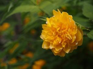ヤマブキの花(上手、アップ)の素材 [FYI00252228]