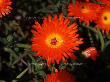 マツバギクの花(オレンジ)の素材 [FYI00252235]