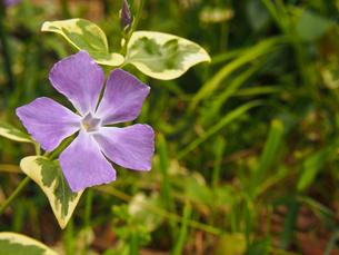 つる日々草(ツルニチニチソウ)の花の素材 [FYI00252238]