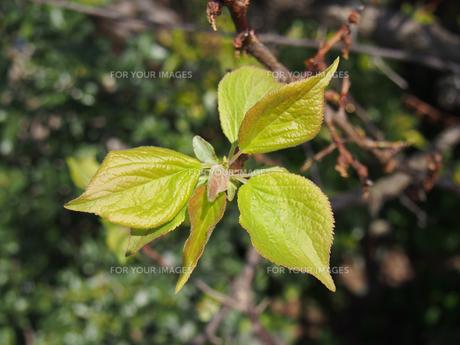 梅の葉の素材 [FYI00252240]