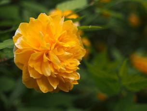 ヤマブキの花(下手、アップ)の素材 [FYI00252242]