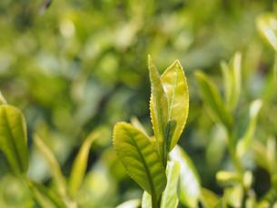 お茶の葉の素材 [FYI00252245]