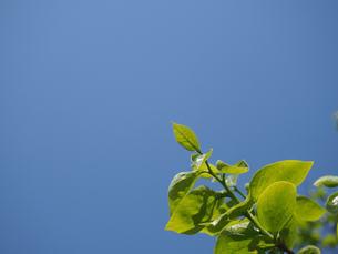 柿の葉(コピースペース有り)の写真素材 [FYI00252251]