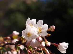 桜の花、アップの素材 [FYI00252252]