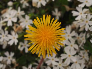 芝桜中のタンポポの花の素材 [FYI00252254]