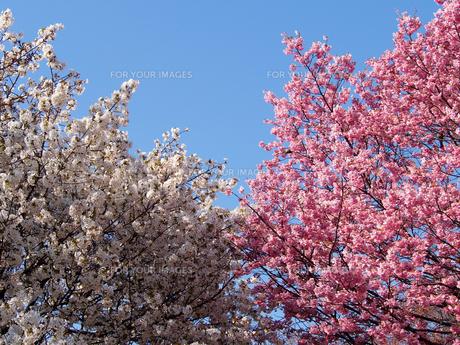 紅白、2種類の桜の花の素材 [FYI00252257]