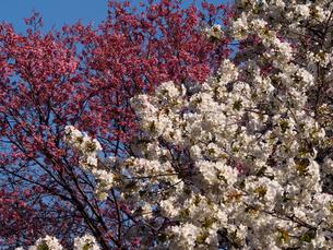 紅白、2種類の桜の花の素材 [FYI00252259]