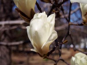 ハクモクレンの花、クローズアップの素材 [FYI00252264]
