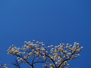 青空下の桜(大島桜)、コピースペースの写真素材 [FYI00252266]