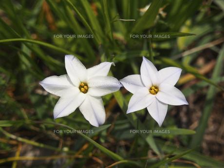 2輪のハナニラの花の素材 [FYI00252269]