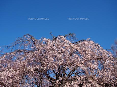 青空下の、しだれ桜の素材 [FYI00252276]