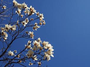 青空下のハクモクレンの花達。コピースペース有りの写真素材 [FYI00252279]