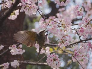桜の蜜を吸う1羽のヒヨドリの素材 [FYI00252283]