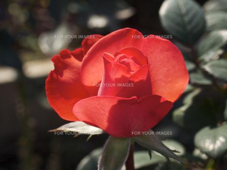 一輪の、薔薇の花(赤色、透過光)の素材 [FYI00252288]