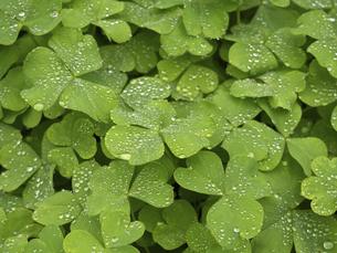 雨上がりの緑葉の写真素材 [FYI00252296]