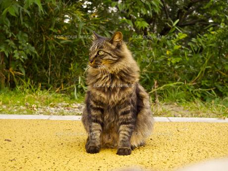 首周りがフサフサの野良猫 (左向き)の写真素材 [FYI00252299]