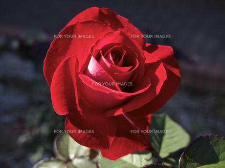 一輪の、薔薇の花(赤色)の素材 [FYI00252300]