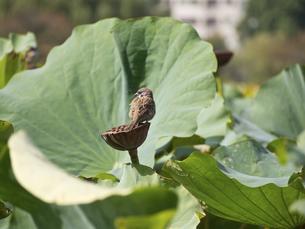 蓮の上の雀の写真素材 [FYI00252302]