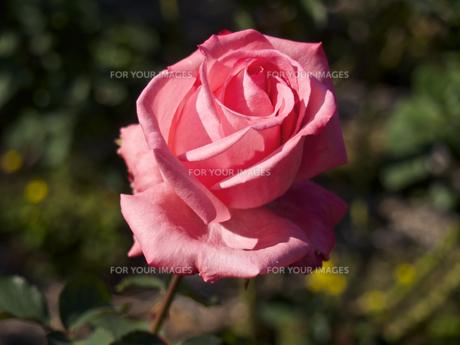 一輪の、薔薇の花(ピンク)の素材 [FYI00252303]