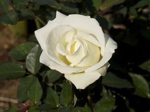 一輪の、薔薇の花(白色)の素材 [FYI00252305]