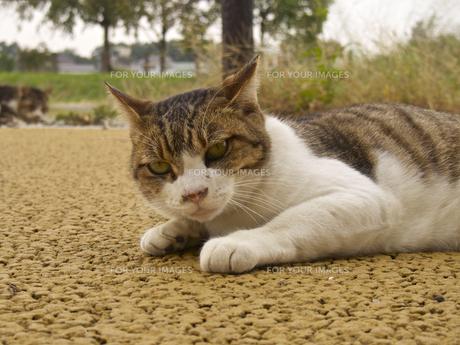ローアングル、伏せ状態のネコ(上半身)の素材 [FYI00252309]