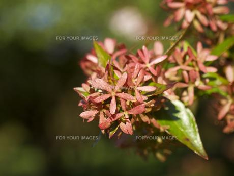 アベリア、花が咲いた後の赤い萼片(がくへん)の素材 [FYI00252314]