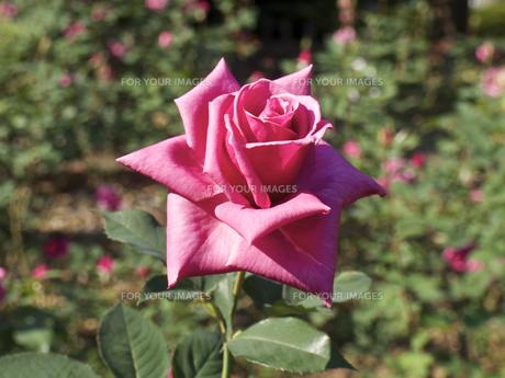 一輪の、薔薇の花(薄紫色)の素材 [FYI00252317]