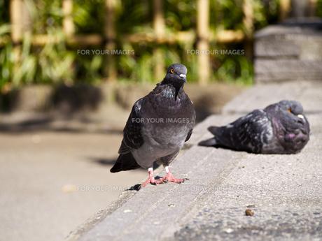 公園の鳩の素材 [FYI00252322]
