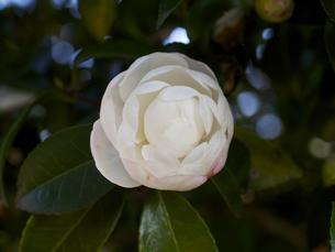 白色、山茶花の花。開花途中。の写真素材 [FYI00252326]